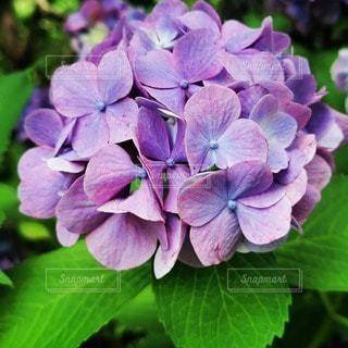 植物の紫色の花のクローズアップの写真・画像素材[3395924]