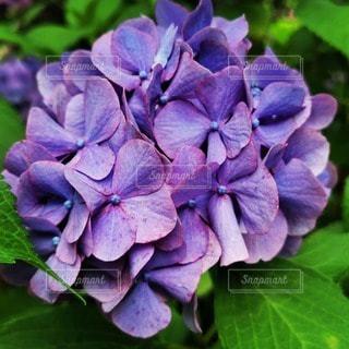 植物の紫色の花のクローズアップの写真・画像素材[3395923]