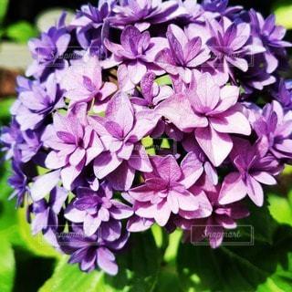 紫色の花のクローズアップの写真・画像素材[3395929]