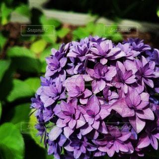 紫色の花のクローズアップの写真・画像素材[3395930]