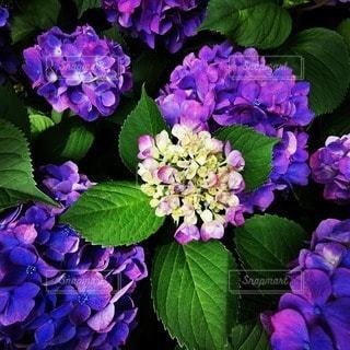 紫色の花束のクローズアップの写真・画像素材[3395932]