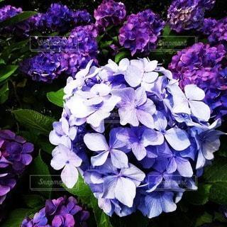 紫色の花のクローズアップの写真・画像素材[3395931]