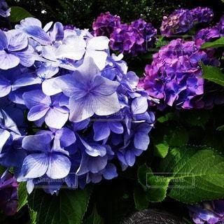 紫色の花のクローズアップの写真・画像素材[3395933]