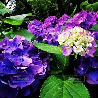 植物の紫色の花のクローズアップの写真・画像素材[3395934]
