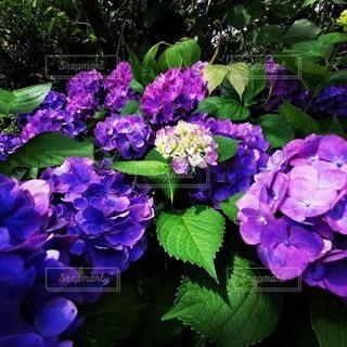 植物の紫色の花のクローズアップの写真・画像素材[3395938]