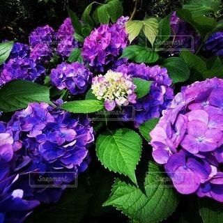 紫色の花束のクローズアップの写真・画像素材[3395936]
