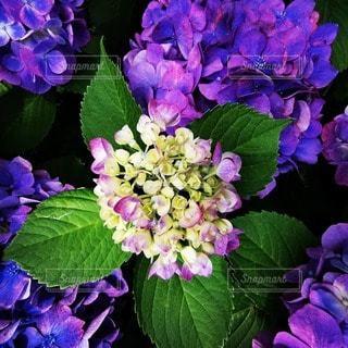 紫色の花のクローズアップの写真・画像素材[3395937]