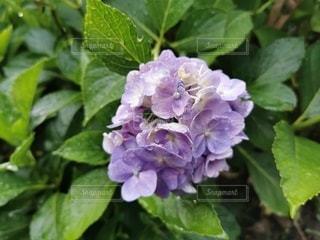 緑の植物のクローズアップの写真・画像素材[3419417]