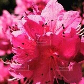 ピンクの花束のクローズアップの写真・画像素材[4300489]