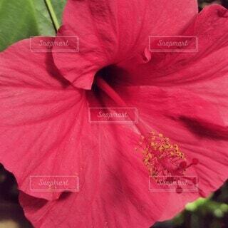 ピンクの傘を持っている女性の写真・画像素材[4300496]