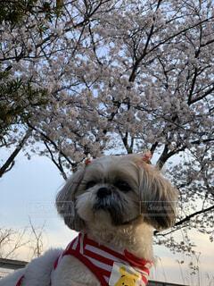 さくらちゃんと桜の写真・画像素材[4285058]
