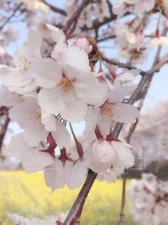 菜の花畑と満開の桜コラボ♡の写真・画像素材[3295355]