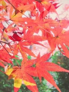 もみじの葉の写真・画像素材[3723802]