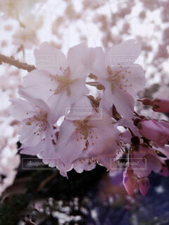 枝垂れザクラの写真・画像素材[4286166]