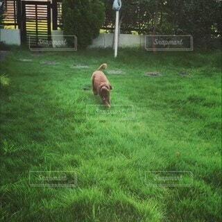 犬,屋外,緑,草原,景色,草,樹木,トイプードル,草木,おうちドッグラン