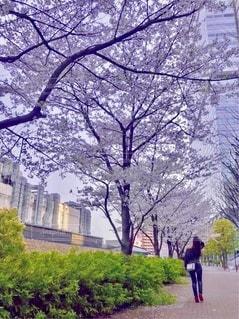 桜並木の写真・画像素材[3290812]