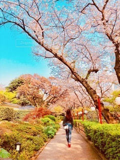 桜並木の写真・画像素材[3292204]
