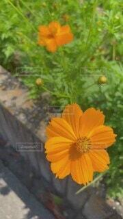 花,夏,屋外,綺麗,花びら,快晴,オレンジ色,キバナコスモス,草木,草本植物