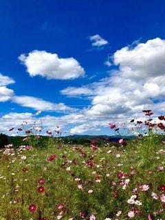 青空 白雲 コスモス畑の写真・画像素材[3287995]