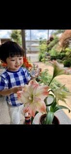 アマリリスと男の子の写真・画像素材[3285832]