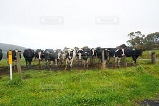草で覆われた畑の上に立っている牛の群れの写真・画像素材[3298286]