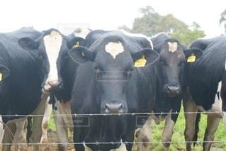 ワイヤーフェンスの上に立っている牛の群れの写真・画像素材[3298283]