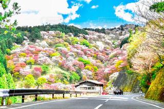 吉野山の桜景色。の写真・画像素材[3323618]