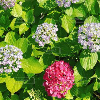 近所の紫陽花たちの写真・画像素材[4468483]