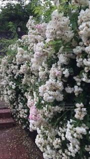 薔薇の写真・画像素材[3368268]
