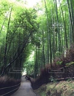 京都嵯峨野竹林の写真・画像素材[3368290]