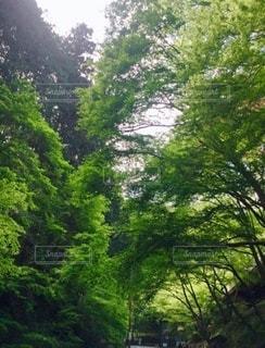善峯寺に行く道中の青もみじの写真・画像素材[3376543]