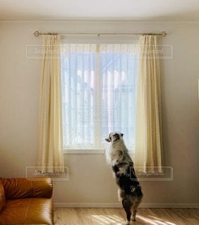 カーテン越しに外の景色を眺めるワンコの写真・画像素材[3315359]