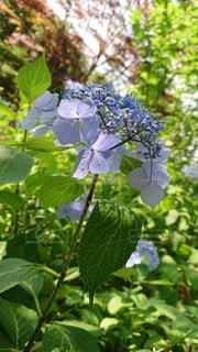 涼しげな紫陽花の写真・画像素材[3347180]