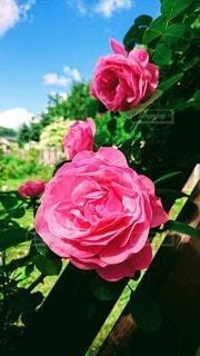 薔薇の写真・画像素材[3345651]