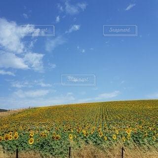 スペイン、アンダルシアの向日葵畑の写真・画像素材[3370221]