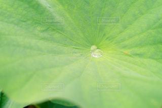 蓮の葉に溜まる雨露の写真・画像素材[3368257]