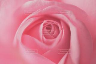 ピンク色のバラのクローズアップの写真・画像素材[3367027]