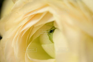 黄色いバラの花の写真・画像素材[3367028]