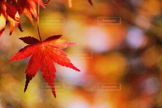 モミジの木の下で、木漏れ日に照らされるモミジの葉っぱの写真・画像素材[3848281]