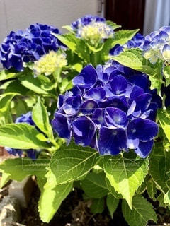 紫陽花の写真・画像素材[3395052]