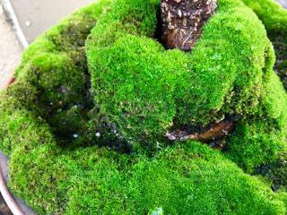 我が家の植木にできた見事な新緑の写真・画像素材[4419430]