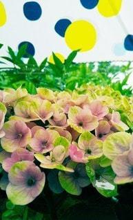 雨と紫陽花と傘の写真・画像素材[3382248]