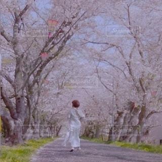 桜トンネル 独り占め。の写真・画像素材[4624182]