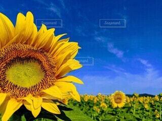ひまわり畑と青空。の写真・画像素材[4669228]