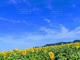 ひまわり畑と青空。の写真・画像素材[4676770]