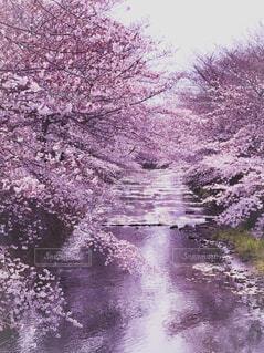 川沿いの桜並木の写真・画像素材[4238229]