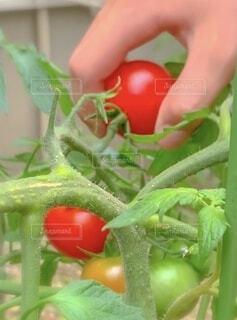 家庭菜園で収穫の写真・画像素材[4662497]