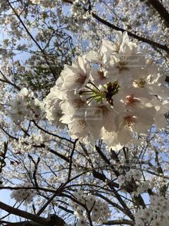 桜の花の写真・画像素材[3369783]