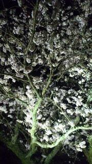 夜桜の写真・画像素材[3316426]