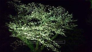 森の中の大きな緑の木の写真・画像素材[3316427]